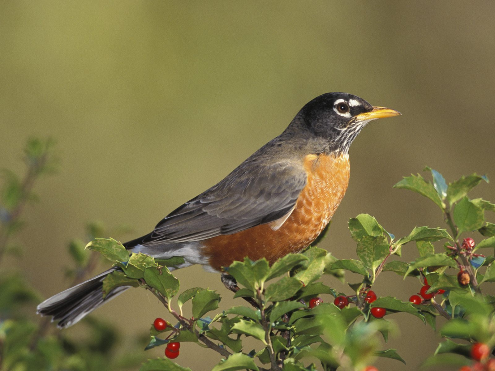 Birds american robin Pictures of birds