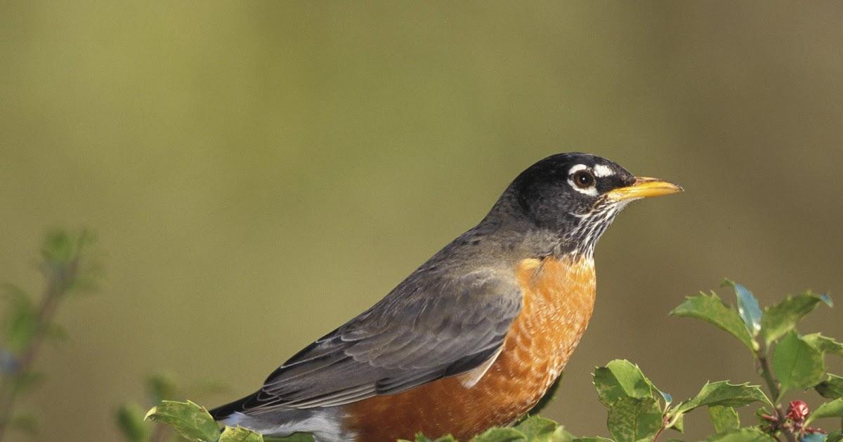 Birds: American Robin American Robin Bird