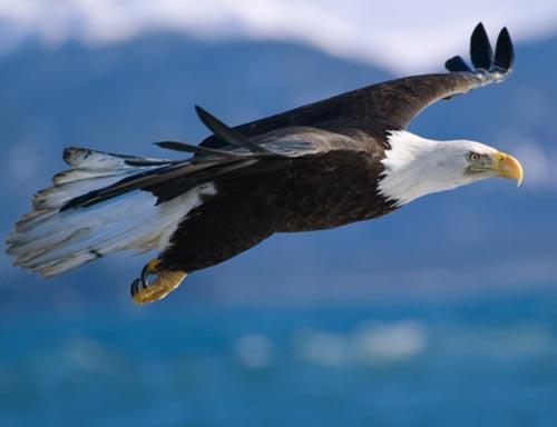 Animalele noastre Bald+Eagle+picture