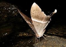 Kupu-kupu malam