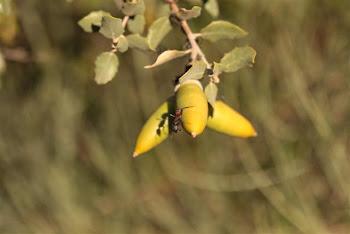 An ant in an acorn