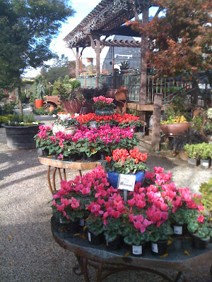 cyclamen for sale at High Hand Nursery in Loomis, CA
