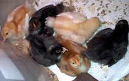 Chicks Resting