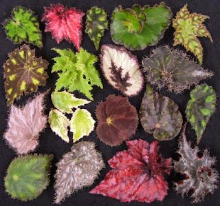 non toxic plants for cats begonia species. Black Bedroom Furniture Sets. Home Design Ideas