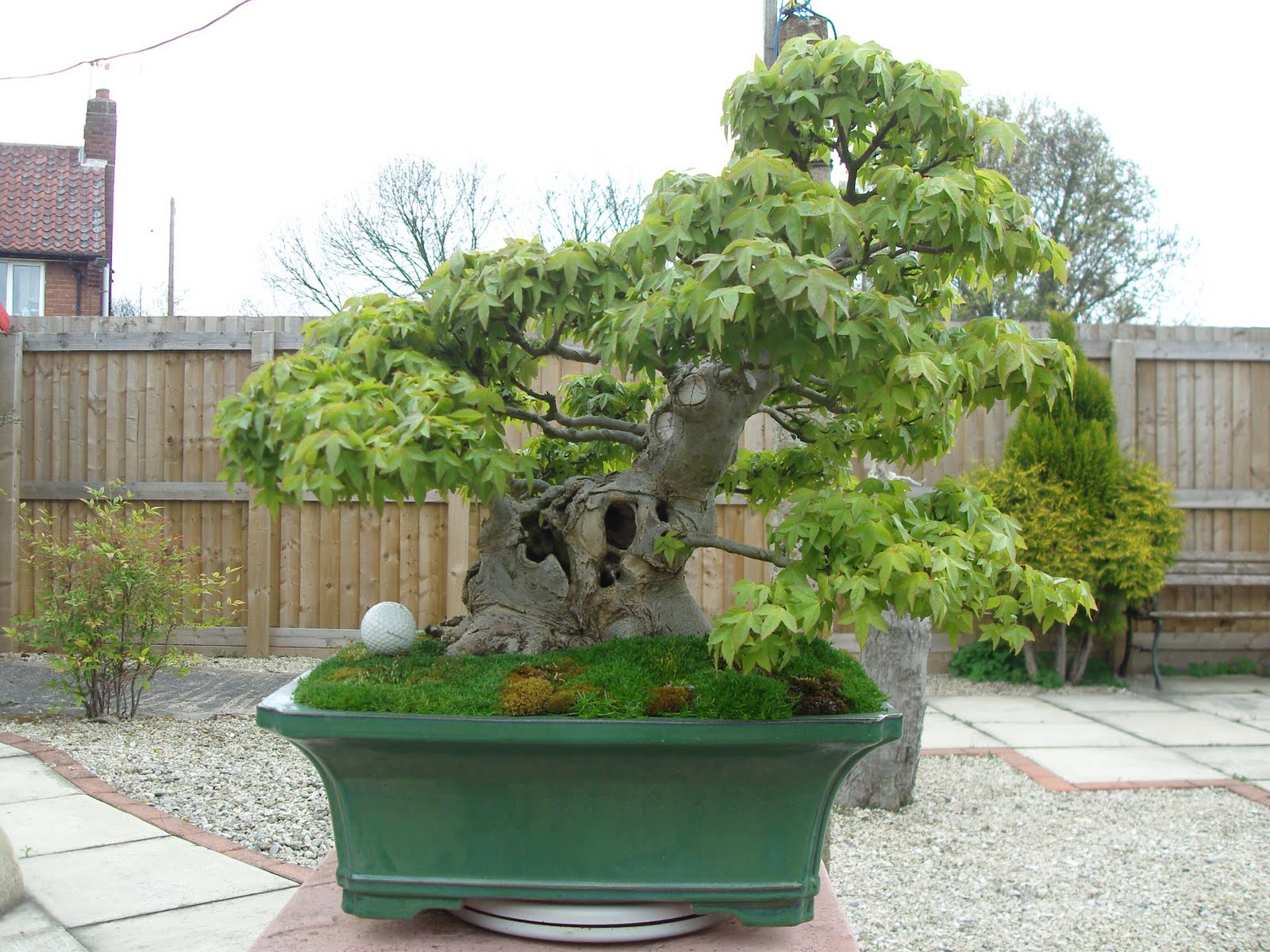 Graham39s Bonsai