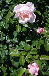 rose-number-33