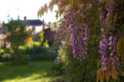 wisteria sau glicina