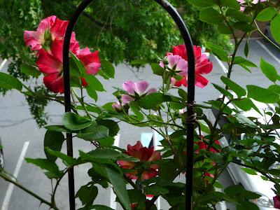 detaliu trandafiri