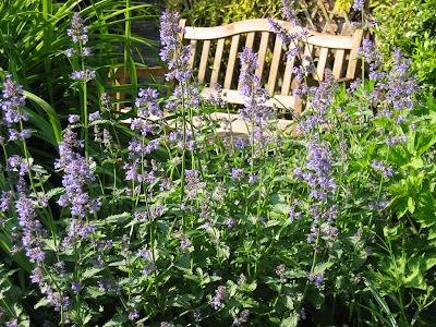 planta aromata in gradina luna mai