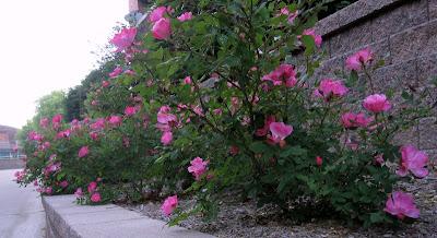 bordura de trandafiri in gradina