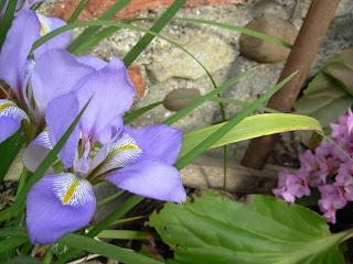 iris pitic inflorit primavara