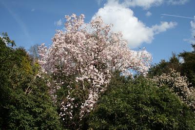 magnolia inflorita primavara