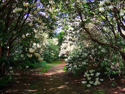 florile rhododendronilor in gradina romantica