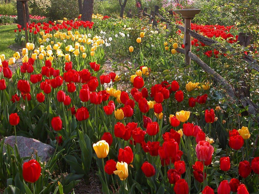 Gradini si parcuri Tulips-1024