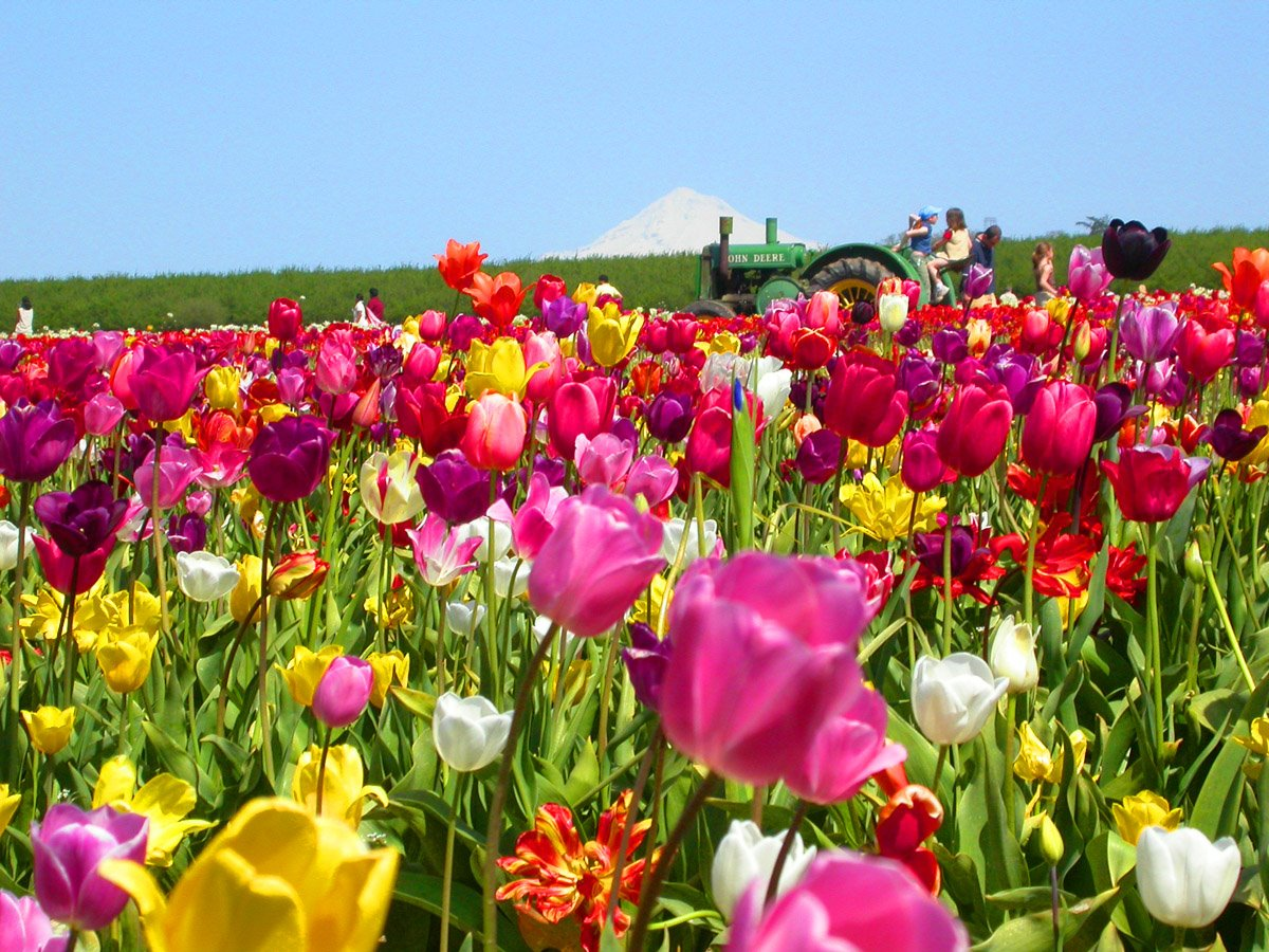 Gradini si parcuri Tulips_tractor