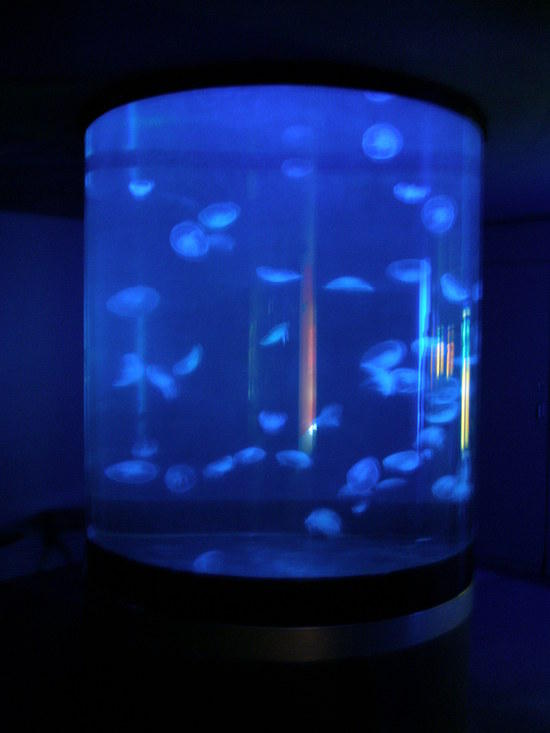 Reef aquarium discussion keeping moon jellyfish in a aquarium for Jelly fish aquarium