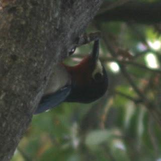 Puerto Rican Woodpecker, Guanica, Puerto Rico