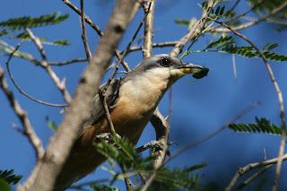 Mangrove Cuckoo, Guanica, Puerto Rico