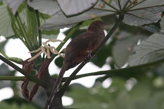 Puerto Rican Lizard-Cuckoo, El Yunque, Puerto Rico