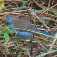 female Red-cheeked Cordon-Bleu