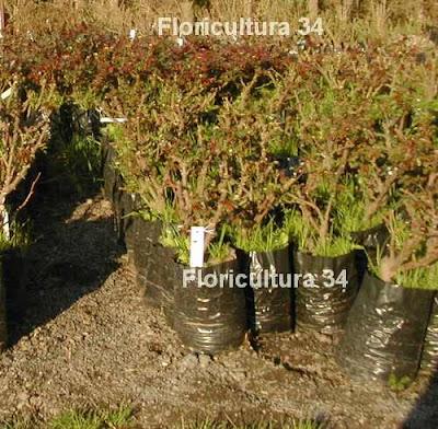 Floricultura 34 producci n de plantas de rosal for Produccion de plantas en vivero pdf