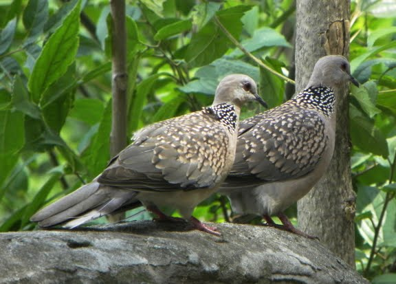 Spotted dove flying - photo#10