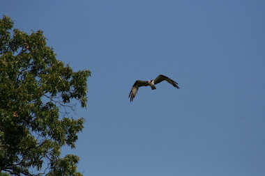 Osprey Over Dividing Creek