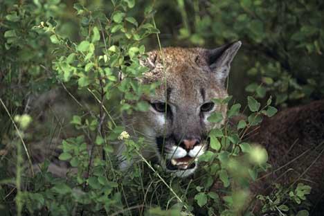 cougar ontario