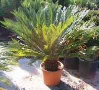Палми-видове,грижи и съвети! Trachycarpus