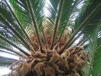 Палми-видове,грижи и съвети! %D1%86%D0%B8%D0%BA%D0%B0