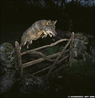 La foto natura più bella dell'anno è un lupo