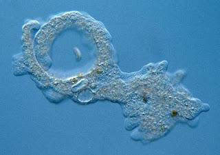 catalogue of organisms amoeba much wierder than you think
