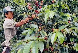 Cultivos de cafe en Colombia