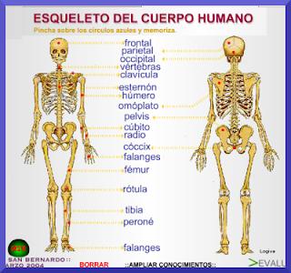 Esqueleto del cuerpo humano logiva mi blog for Medidas ergonomicas del cuerpo humano