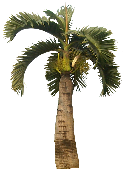 Tropical Plant Pictures: Hyophorbe lagenicaulis Bottle Palm