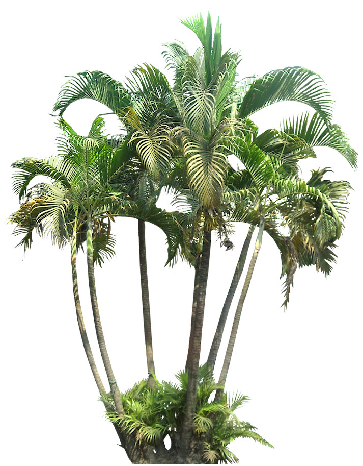 Areca palm png images galleries with for Pictures of areca palm plants