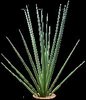 Tropical Plant Pictures: Sansevieria