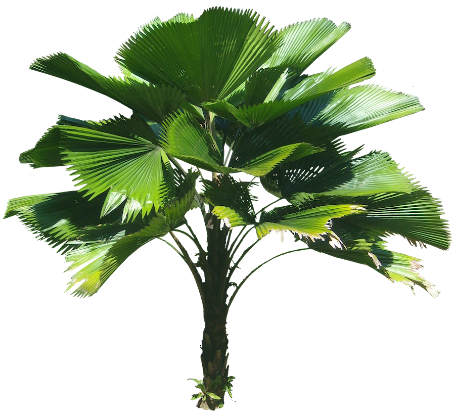 Licuala grandis Ruffled fan palm