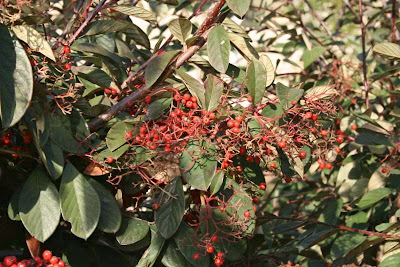red berries evergreen leaves