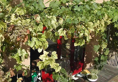 grapes growing on a pergola