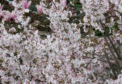 cherry blossom in sunshine