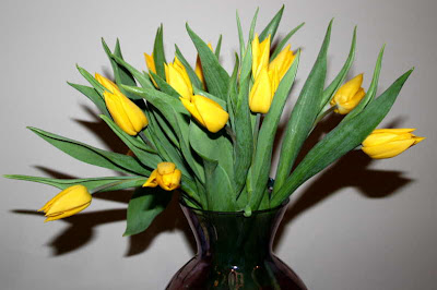 13 yellow tulips
