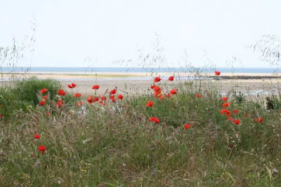 poppies growing by beach