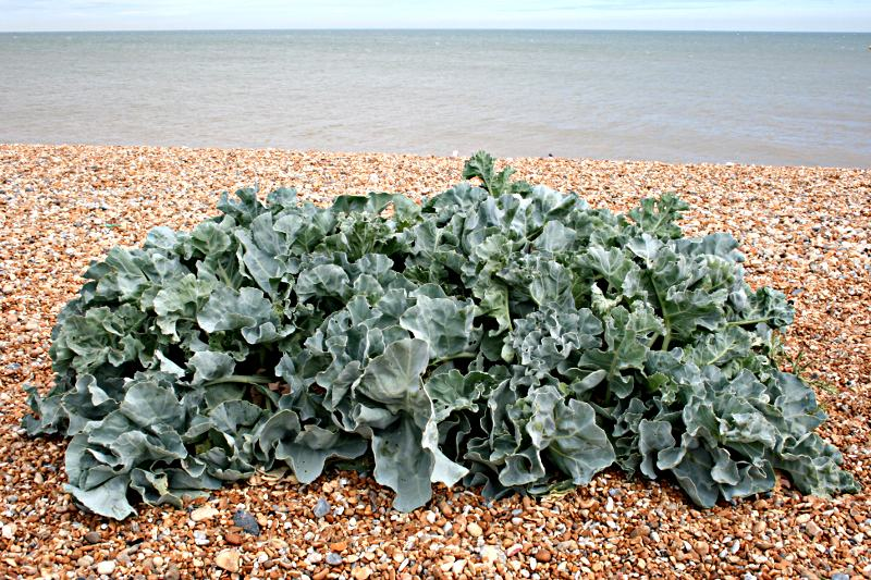 seakale growing on a shingle beach