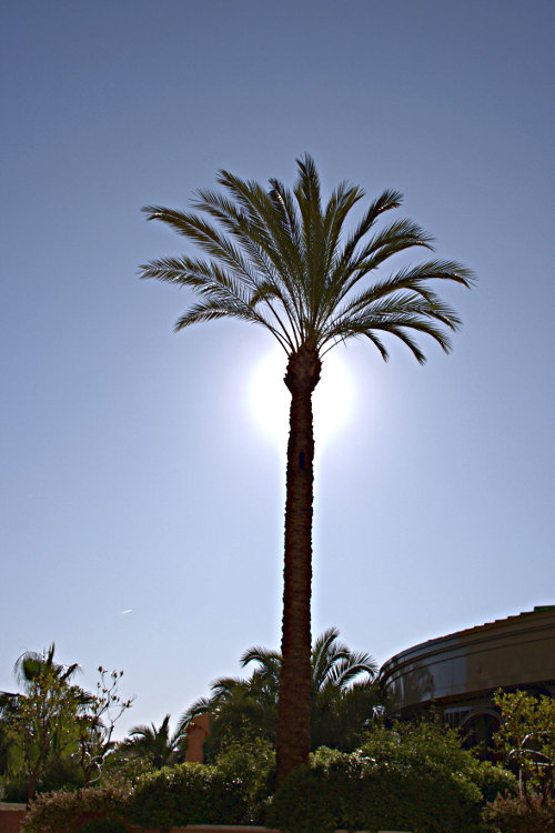 palm tree with sun behind it