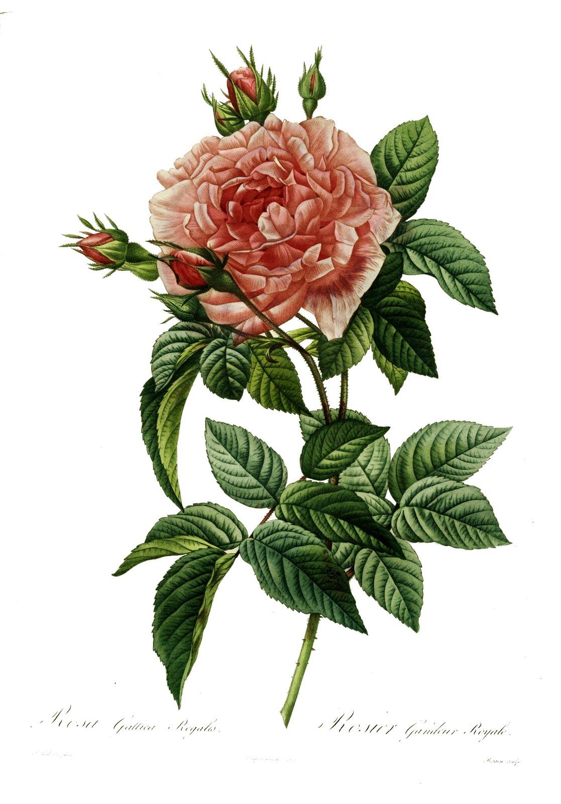 vintage ephemera  roses by redout u00e9  1824