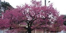 O espetáculo da cerejeira