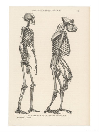 gorilla vs human anatomy | animal anatomy | pinterest | human, Skeleton