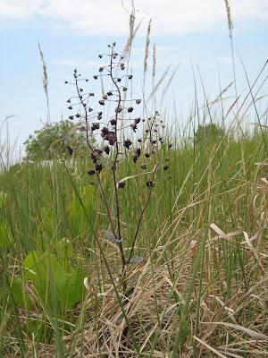 divizna brunátná, Verbascum phoeniceum