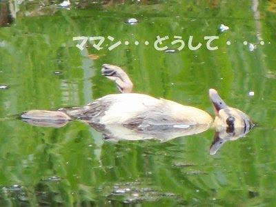 カルガモの画像 p1_15